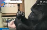 """会手语、爱撸猫的大猩猩""""可可""""过世了"""